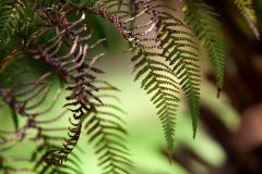 Click to enlarge image Ferns_are_the_symbol_Hazeldene.jpg
